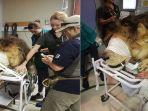 seekor-singa-dengan-penyakit-kulit-ini-mendapatkan-perawatan-terapi-di-rumah-sakit-ceritanya-viral.jpg