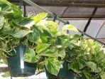 tanaman-philodendrons_20170326_144729.jpg