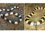 ular-weling-bungarus-candida.jpg