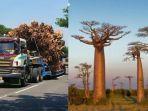 viral-crazy-rich-semarang-beli-pohon-baobab.jpg