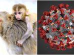 who-sebut-infeksi-virus-corona-pada-2400-monyet-tunjukkan-bahayanya-dari-demam-hingga-gagal-organ.jpg