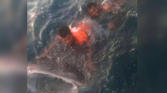 Kisah Hiu Paus Tutul Terdampar di Pelabuhan Baubau; Diselamatkan Polisi, Buat Heboh, dan Menghibur
