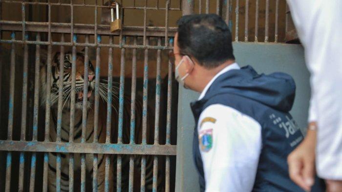 Harimau Sumatera di Ragunan yang Sempat Positif Covid-19 telah Dinyatakan Sembuh