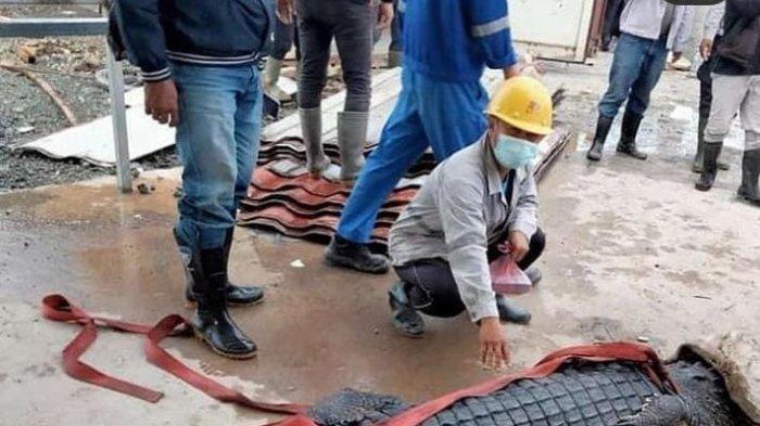 Viral buaya ditangkap pekerja tambang di kawasan industri Morosi Konawe, diberi helm dan kacamata, lalu mati.
