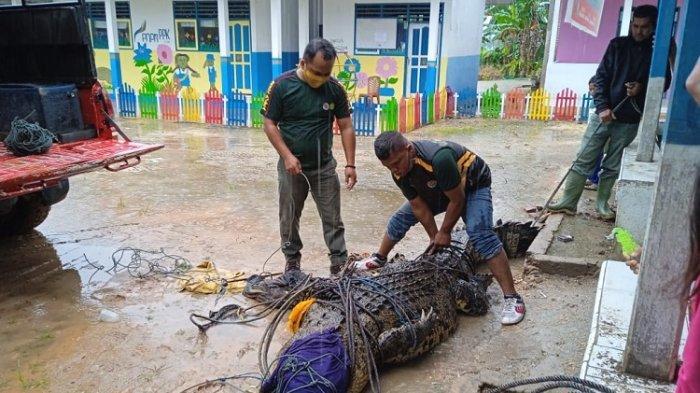 Geger, Buaya Sepanjang Hampir 4 Meter Ditemukan di Irigasi Persawahan Warga di Bombana
