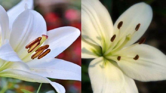 Foto kolase Bunga Bakung