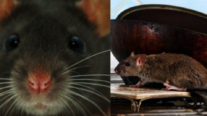Tikus Got Masuk Rumah? Ternyata Takut Herbal Ini, Ada Bumbu Dapur