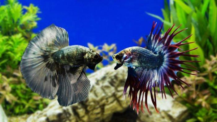 Ikan cupang bagus dijadikan hiasan di rumah