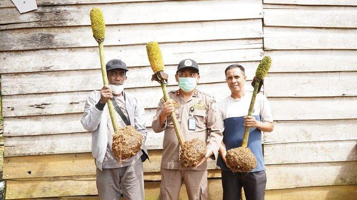 Tanaman Porang di Sultra Seluas 612 Hektar, Terluas di Konawe Selatan, Belum Punya Anggaran Budidaya