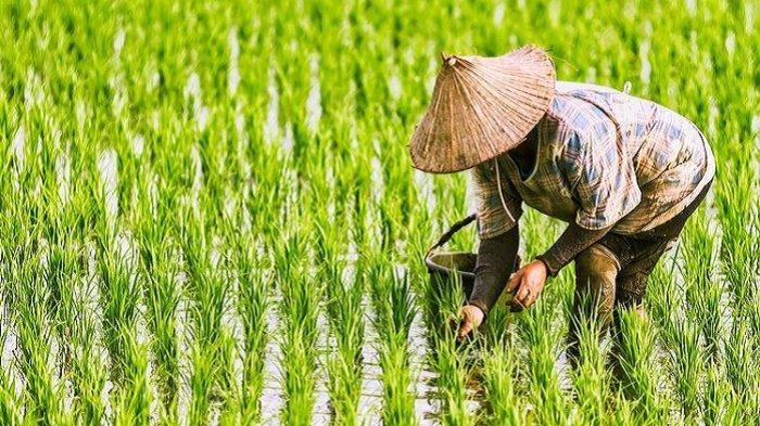 Kesejahteraan Petani di Sulawesi Tenggara Turun 0,12 Persen per September 2021