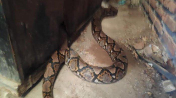 Kenali 3 Tanda-tanda Ular Masuk Rumah, Begini Cara Menagkal dan Menangani si Reptil