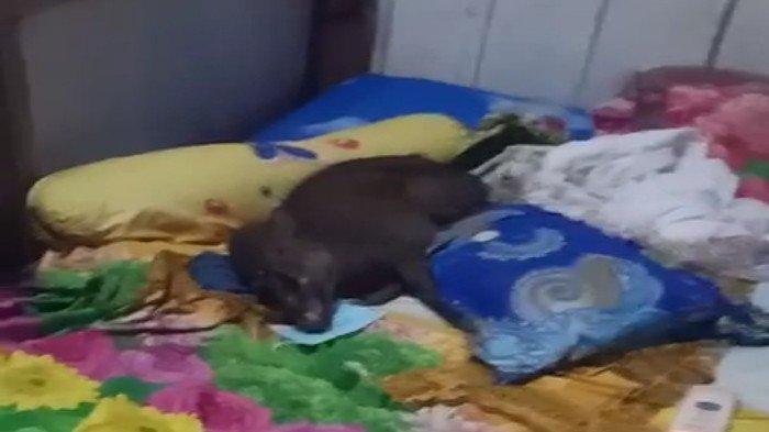 TERNYATA Babi Bermasker di Konawe Utara Ngorok Ketika Ditemukan, Baring di Atas Ranjang Pasutri