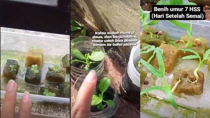 Video Viral Tips Hemat Uang untuk Anak Kos, Tanam Sayur Cara Hidroponik: Gampang Banget