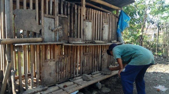 Heboh 150 Ayam Hilang Dalam Semalam, Warga Pergoki Pria Bertubuh Tinggi Besar Masukkan ke Karung