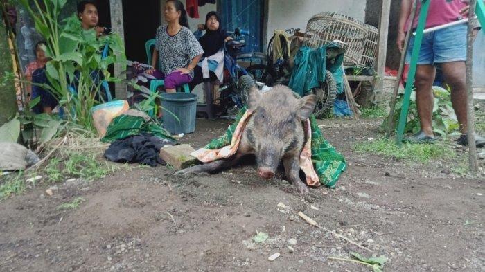 Heboh Babi Masuk Pemukiman, Dipukul Diam Saja, Darah Masih Bercucuran saat Hendak Dikubur : Kan Aneh