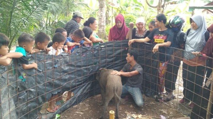 Heboh Babi Hutan Jinak di Muratara, Disebut Nangis saat Ditinggal di Luar Rumah, Ini Pendapat PORBI