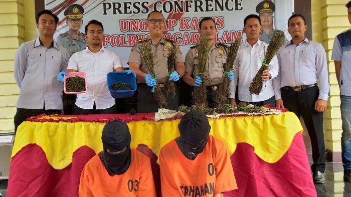Update Penggerebekan Ladang Ganja di Pagaralam, Bibit dari Empat Lawang, Pakai Modus Baru