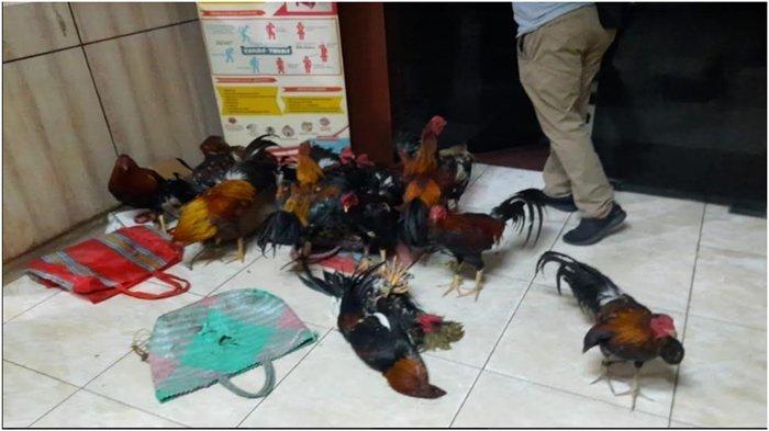 Barang bukti diamankan dari arena perjudian Sabung Ayam di Desa Babatan Saudagar, Kecamatan Pemulutan Kabupaten Ogan Ilir, Kamis (3/6/2021).