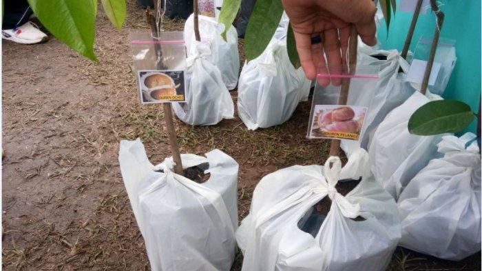 Ternyata Durian Ochee (Duri Hitam) Kalahkan Manisnya Durian Musang King