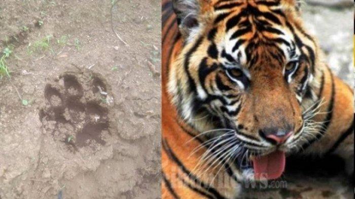 BREAKING NEWS, Ini Hasil Pemeriksaan BKSDA Mengapa Harimau Menyerang Manusia, Habitat Rusak
