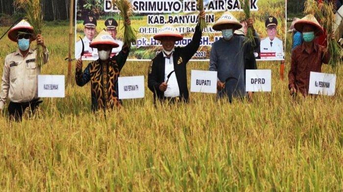 Bupati Banyuasin H. Askolani SH MH  melaksanakan Panen Raya Padi IP 200 di Desa Sri Mulyo Kecamatan Air Salek Kab. Banyuasin Sabtu (22/5/2021).
