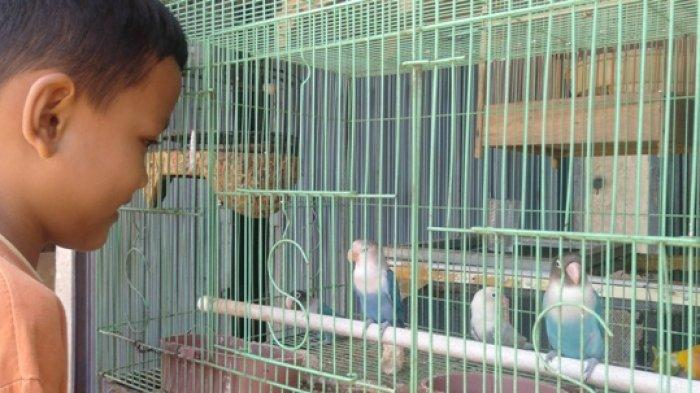 Cara Membedakan Burung Jantan Dan Betina Burung Murai Batu Kacer Love Bird Ciblek Cucak Ijo Tribun Sumsel