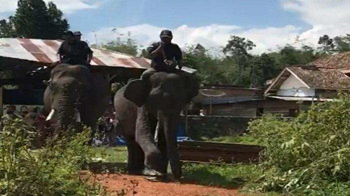 Gajah Makin Agresif, BKSDA Ubah Rencana Evakuasi Gajah Betina di OKU Selatan