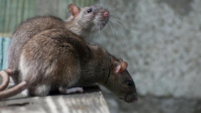 Gadis Lumpuh Bersimbah Darah Diserang Ratusan Tikus Hingga Alami Pendarahan Otak
