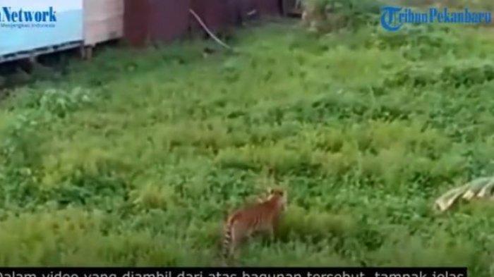 Heboh Penampakan Harimau Berjalan di Belakang Rumah saat Siang Bolong, BKSDA Ungkap Fakta Sebenarnya