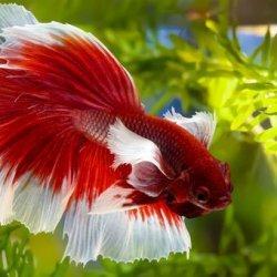 Cantik dan Menawan, Tapi Ikan Cupang Bisa Stres. Ini Penyebab dan Solusinya, Gampang