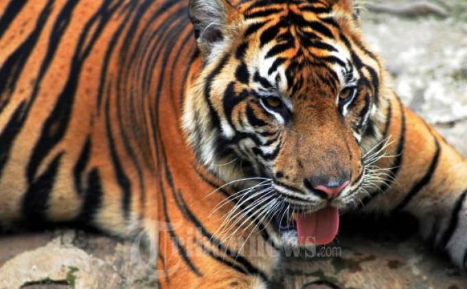 Gubernur Sumsel Sebut Getaran Panas Bumi Turut Picu Munculnya Harimau, Ini Komentar Ahli Geologi