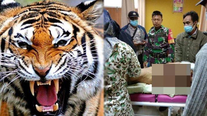 3 Warga Sumsel Tewas Diterkam Harimau, Ini Rentetan Kemunculan Harimau Selama 2 Bulan Terakhir
