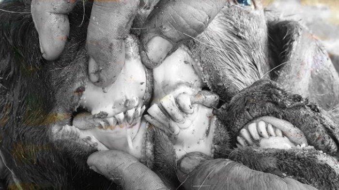 Persatuan Dokter Hewan Temukan Hewan Kurban Tak Cukup Umur di Palembang