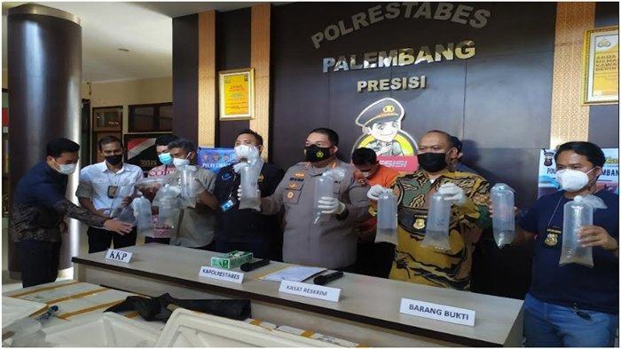 Polrestabes Palembang Gagalkan Penyelundupan 91 Ribu Benur Lobster Senilai Rp 14 Miliar