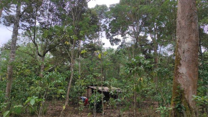 Gagal Panen, Petani Durian se-Kecamatan Muara Pinang Empat Lawang Pasrah