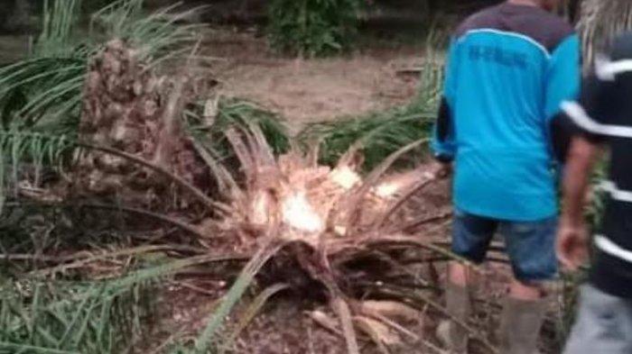 Pohon Sawit Usia 2 Tahun di Muratara Rusak Oleh Gajah Liar, Warga Takut Masuk Permukiman