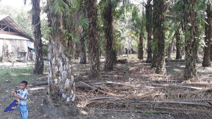 Mulai Identifikasi Lahan tak Produktif, Musi Rawas Bakal Replanting 5 Ribu Hektar Lahan Sawit