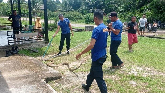 Geger King Kobra 3 Meter Masuk Rumah Warga, Ular Sebesar Lengan Manusia, Langsung Dievakuasi