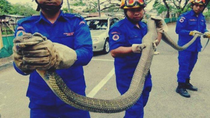 King Kobra Santap Bocah yang Mandi di Sungai, Petugas Pemadam Langsung Buru Ular