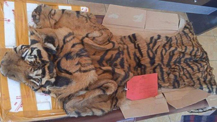 Kulit Harimau Asal Sumsel Dijual Rp10 Juta ke Jawa, Baru Diburu Masih Basah dan Berbau Amis