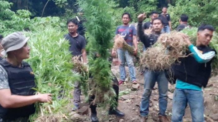BREAKING NEWS, Ditemukan Ladang Ganja 3 Hektare diBukit Padi Ampe Pagaralam