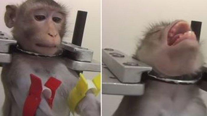 Kisah Mengerikan Monyet-monyet Jadi Percobaan di Laboratorium, Leher Teriak dan 'Teriak' Kesakitan