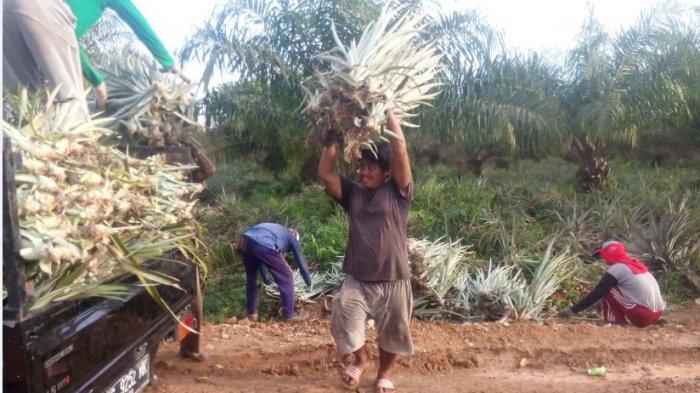 Budidaya Nanas di Lahat Gambut OKI Sukses, Petani Sekarang Bingung Pemasaran Hasil Panen