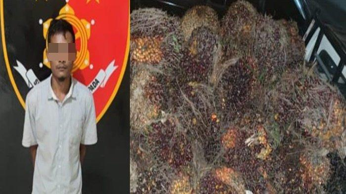 Pria Muda di Musirawas Curi 2,6 Ton Buah Kelapa Sawit, Aksi Dipergoki Petugas Sekuriti