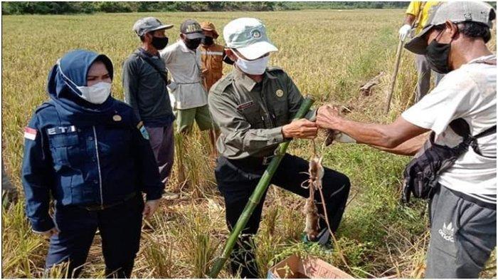 Hama Tikus Merajalela di Kabupaten Lahat, Ancam Hasil Panen Padi Petani, Ini Langkah Diambil