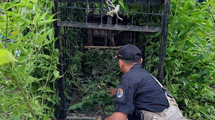 Satgas Pasang 8 Kamera dan Perangkap Tanggulangi Teror Harimau di Sumsel