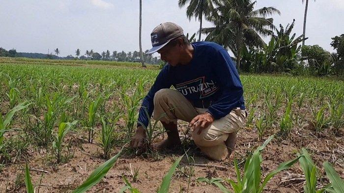 Pengeringan Irigasi Tugumulyo Musi Rawas, Sebagian Petani Padi Beralih Tanam Jagung