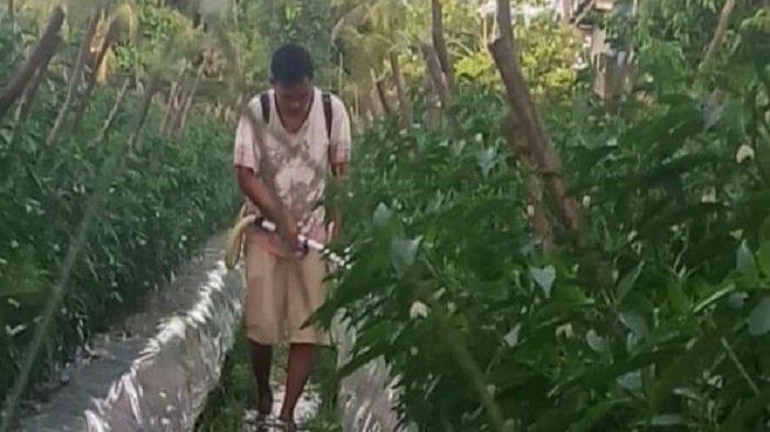 Harga Cabai di Lubuklinggau Terjun Bebas, Petani: Tak Sebanding Upah dan Biaya Produksi