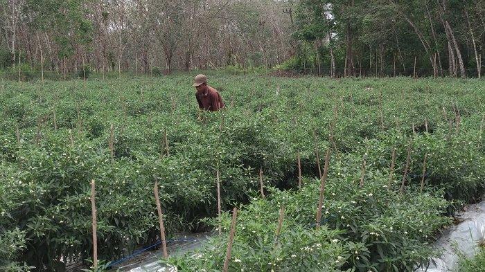 Cerita Petani Cabai Lubuklinggau Rela Bermalam di Kebun, Demi Antisipasi Pencurian