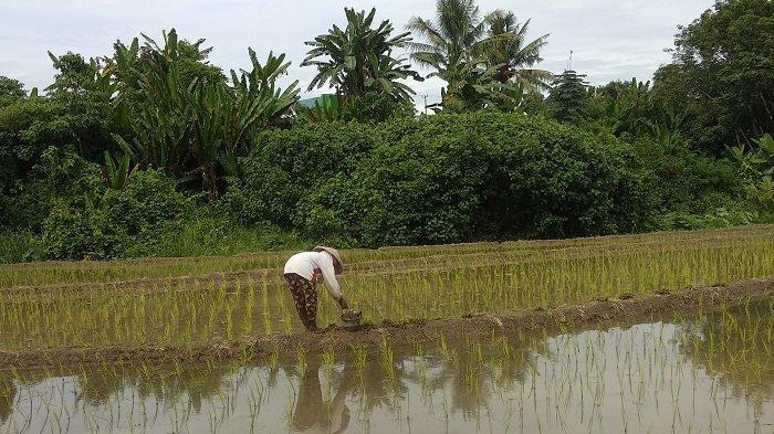 Petani Kesulitan Pupuk, Anggota DPR RI Pertanyakan Hasil Subsidi Pupuk Rp 33  Triliun